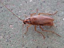 γερμανική κατσαρίδα